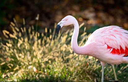 TRUTH OR TAIL? Flamingos fly south for the winter