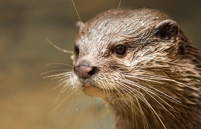 Asian small-clawed otters: Five things you didn't know