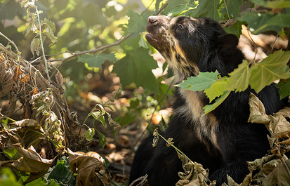 Why save the Andean bear?