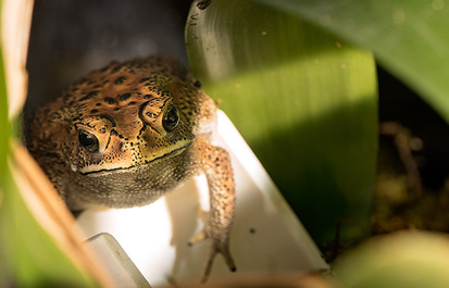 TRUTH OR TAIL? Toads can give you warts