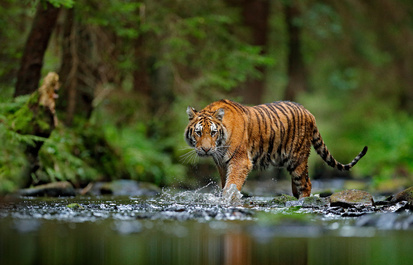 Helping tigers in the wild