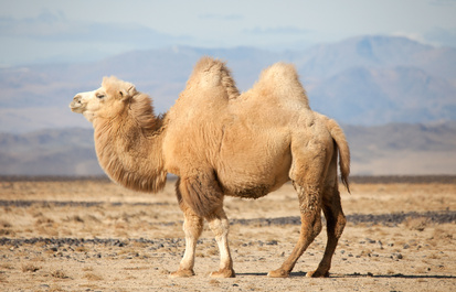 Truth or Tail: A camel's hump