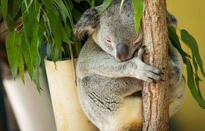 Truth or Tail: Koalas are not a type of bear.