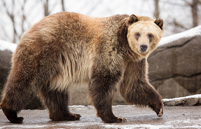 TRUTH OR TAIL? Bears in zoos hibernate