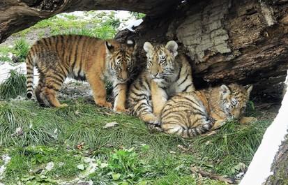 Tiger Takeover