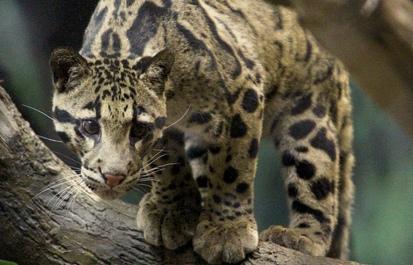 Clouded leopard Ryker rules!