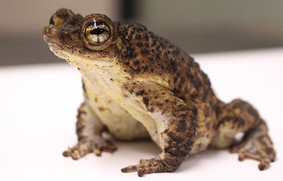 Special Delivery: Saving the Puerto Rican crested toad
