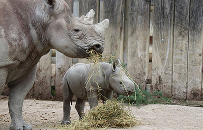 TRUTH OR TAIL? Black rhinos squeak as a  way to communicate.