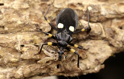 Assassin bugs play predator on the forest floor