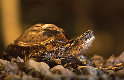 Three Asian turtles to see in The RainForest