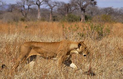 Tracking lions in Tanzania