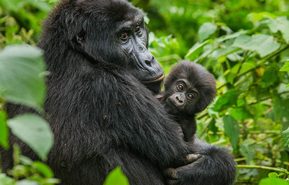 The gorilla and electronics connection