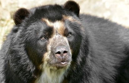 The Elusive Andean Bear