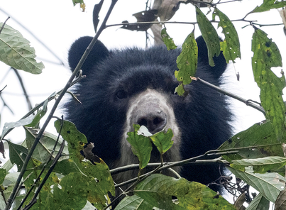 Andean Bear Conservation