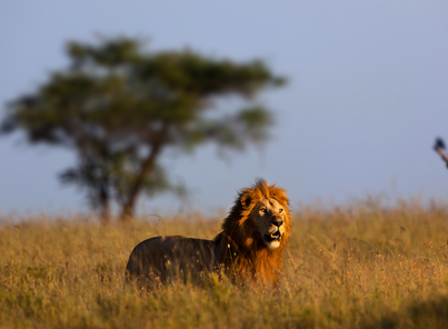 Lion and Cheetah Conservation
