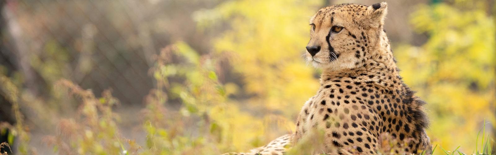 Cheetah laying in shade