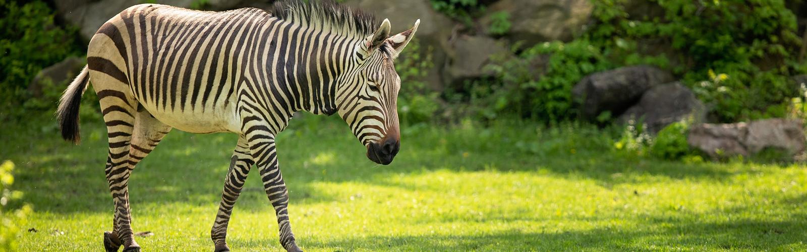 Zebra walking in shade